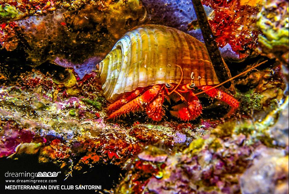 Crab Mediterranean Dive Center Santorini