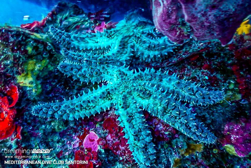 Amazing Aqua Star fish Mediterranean Dive Club Santorini