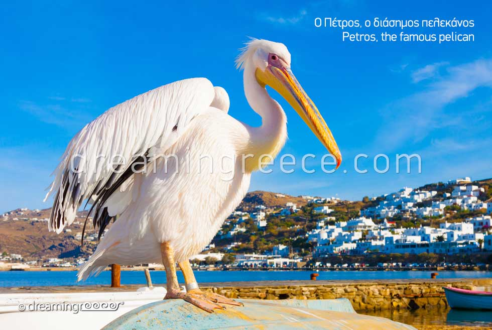 Petros the Pelican Mykonos island. Discover Greece