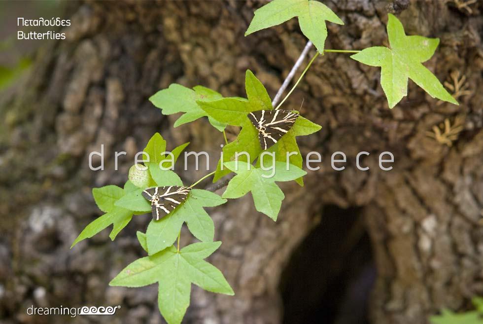 Butterflies Rhodes island Dodecanese. Holidays Greece